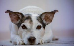 perro tumbado con las orejas en alto