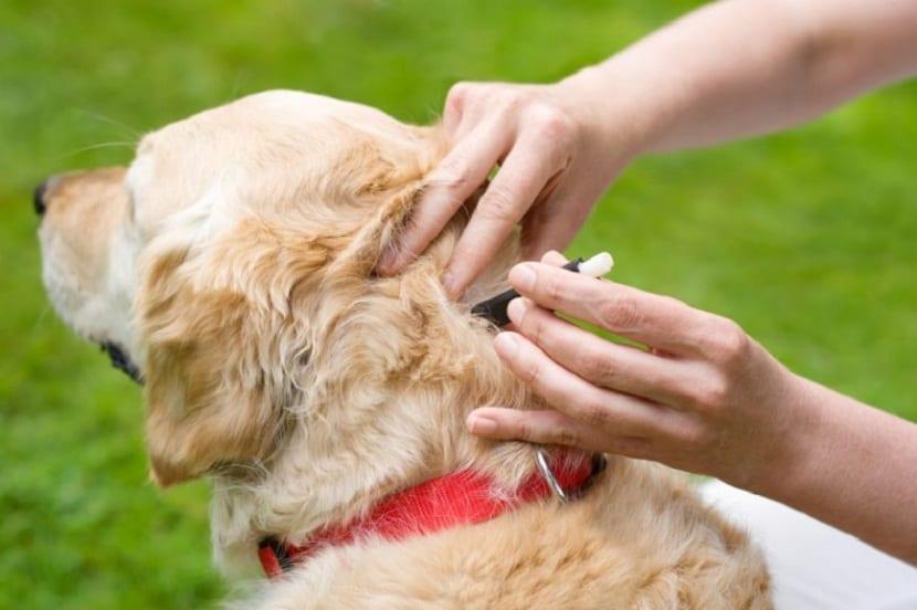 persona echando una pipeta en un perro para las pulgas