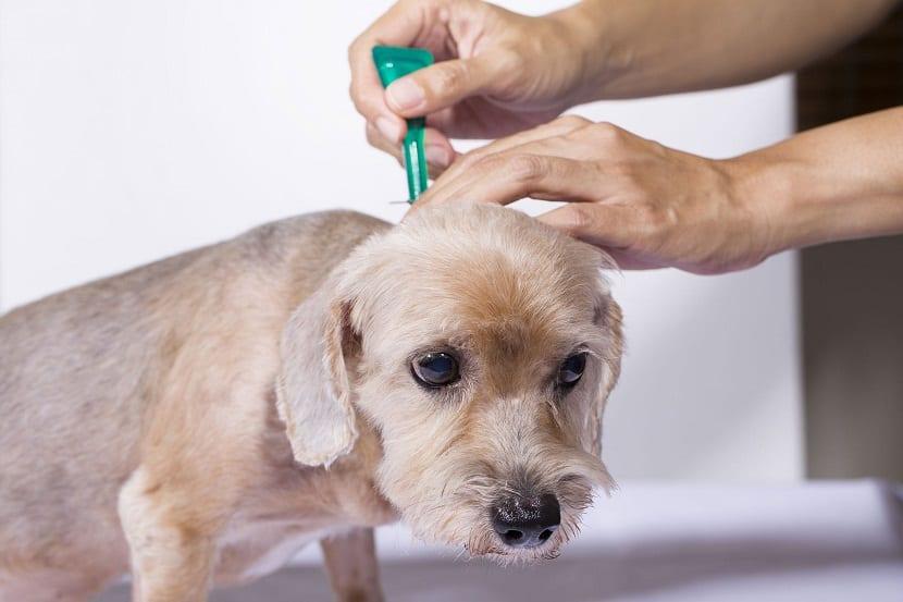 persona echando una pipeta para las pulgas a un perro pequeño