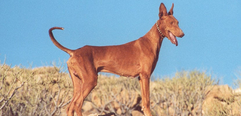 Podenco ibicenco marrón