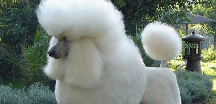 Caniche Gigante
