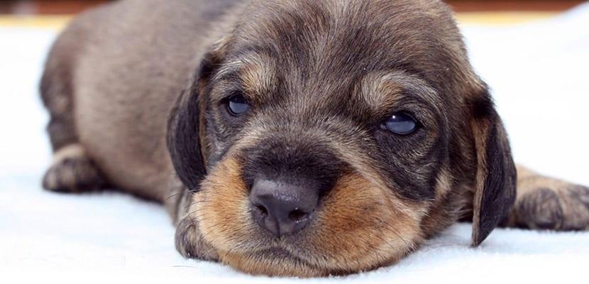 Cachorro de Teckel