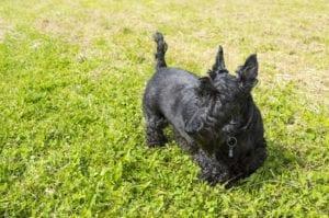 terrier escoces de pelo negro y brillante