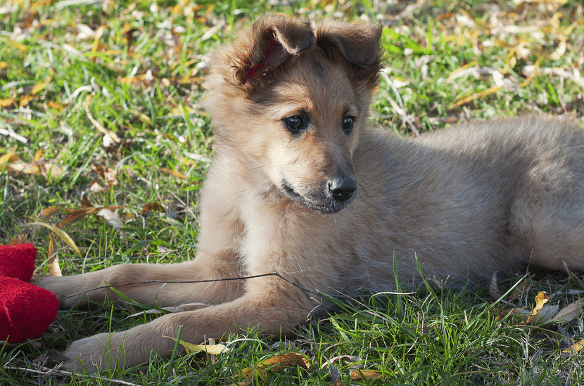 Pequeño cachorro de pastor vasco tirado en el suelo con un juguete rojo