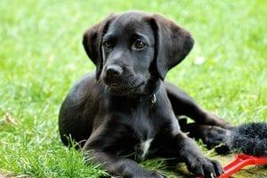 cachorro de perro de color negro tumbado en la hierba