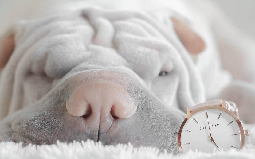 cara y hocico de perro de color blanco-grisaceo con un reloj al lado