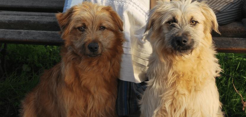 dos perros de la misma raza pero uno de un color mas claro que el otro