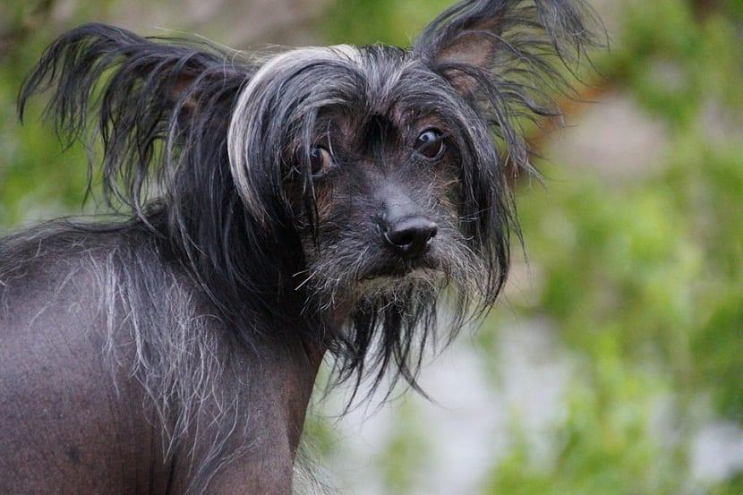 extrano perro sin pelo en el cuerpo, pero si en su cresta