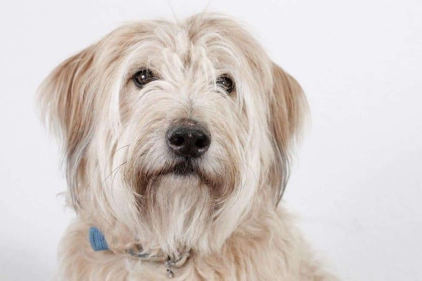 imagen de la cara de un perro de pelo largo y color marron en un fondo blanco