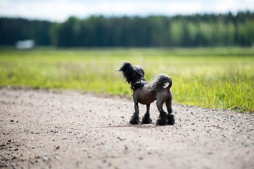 perro Crestado chino con pelo solamente en la cabeza y las patas