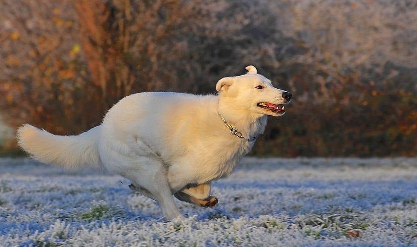 perro blanco con cadena en el cuello corriendo