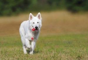 perro blanco corriendo con un juguete en la boca