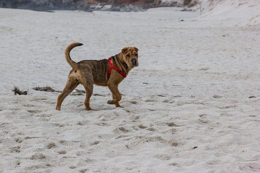 perro con el rabo en alto andando por la arena