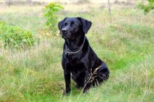 perro de color negro y con collar sentado en la arena