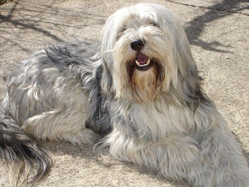 perro de tamaño mediano con mucho pelo tumbado en el suelo