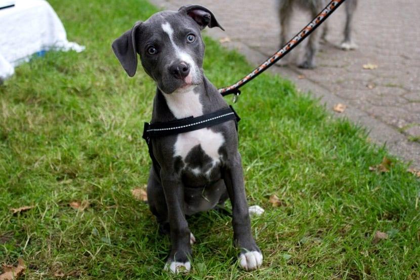 perro sentado con la cabeza de lado sujeto por una correa
