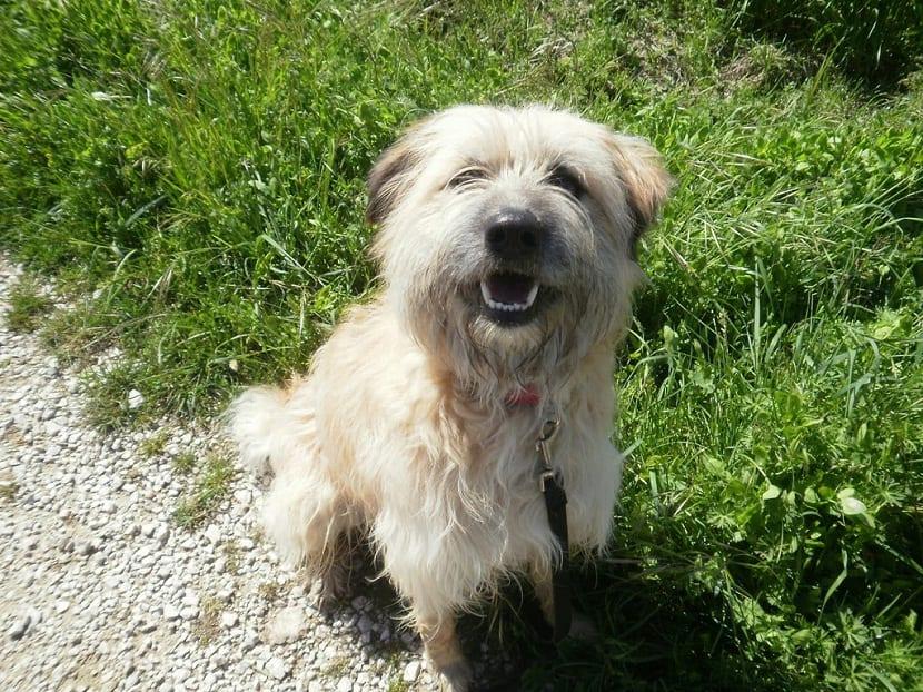 perro sentado en la hierba y sonriendo a la camara