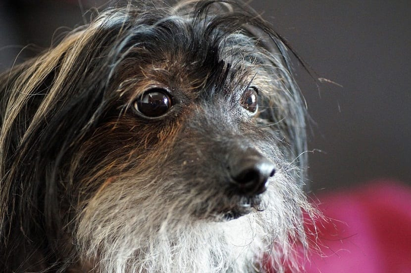 perro sin pelo con grandes ojos saltones
