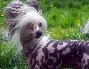 perro sin pelo y con manchas en el cuerpo y con pelo largo en la cabeza