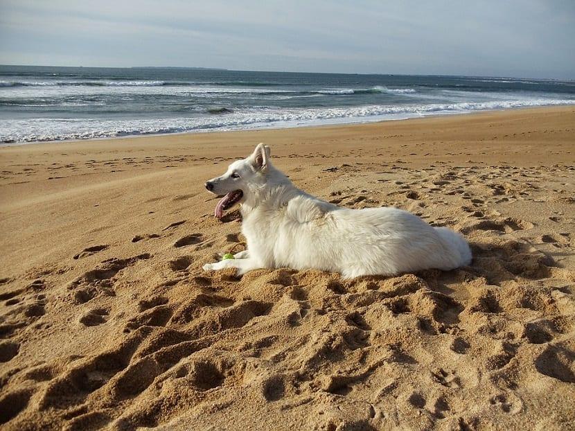 perro tumbado con pelota de tenis disfrutando del mar