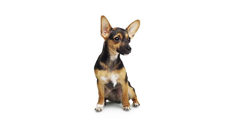 Pinscher con orejas altas