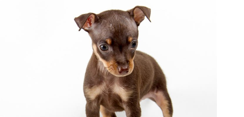Pinscher miniatura marrón