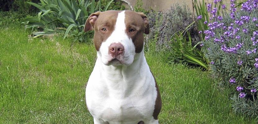 Pitbull Terrier en el campo