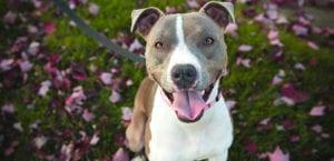 Pitbull Terrier feliz