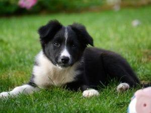 cachorro de perro color negro y blanco tumbado en la hierba