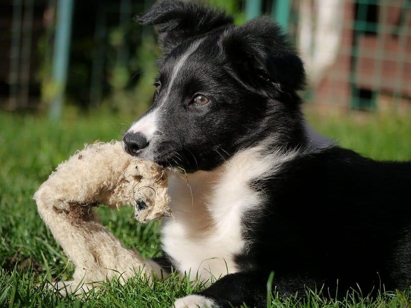 cachorros de perro tumbado en la hierba con juguete en la boca
