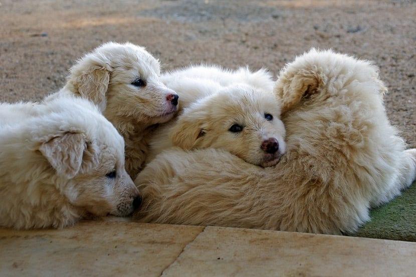 cuatro cachorros de perro de raza mastin