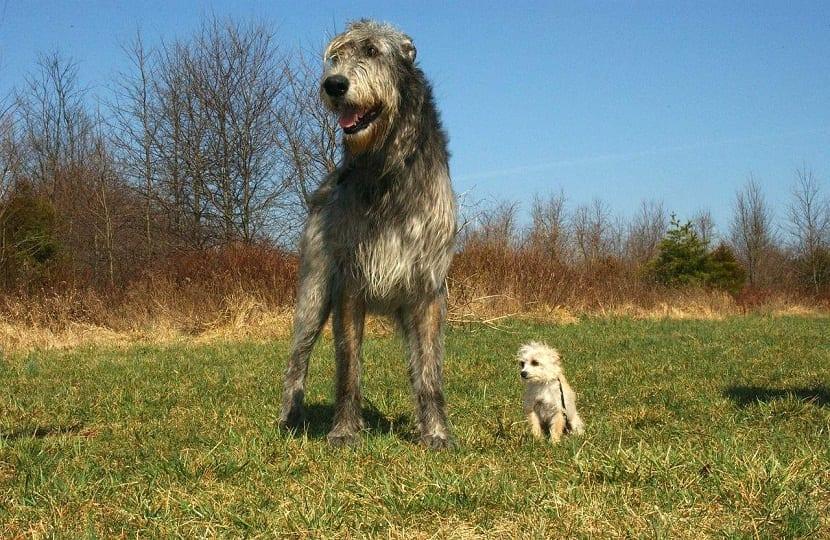 diferencia de tamano entre dos perros de razas diferentes