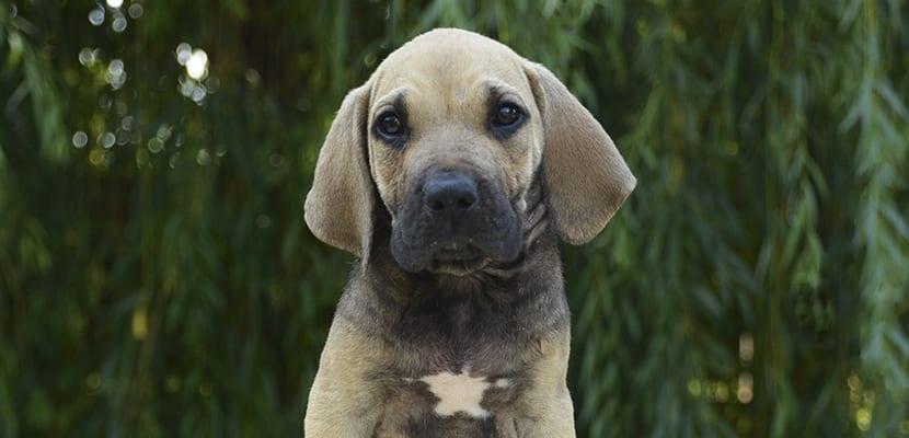 Fila Brasileño cachorro