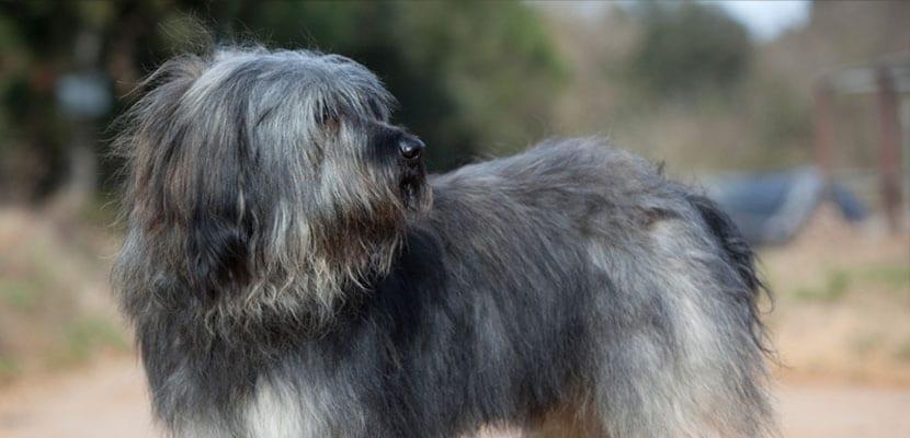 Perro Gos d'Atura