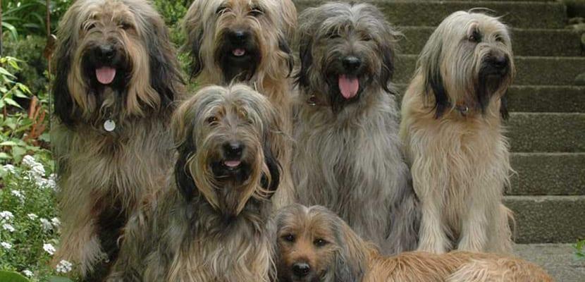 Perros Gos d'Atura