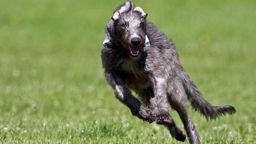 perro captado corriendo a través del campo