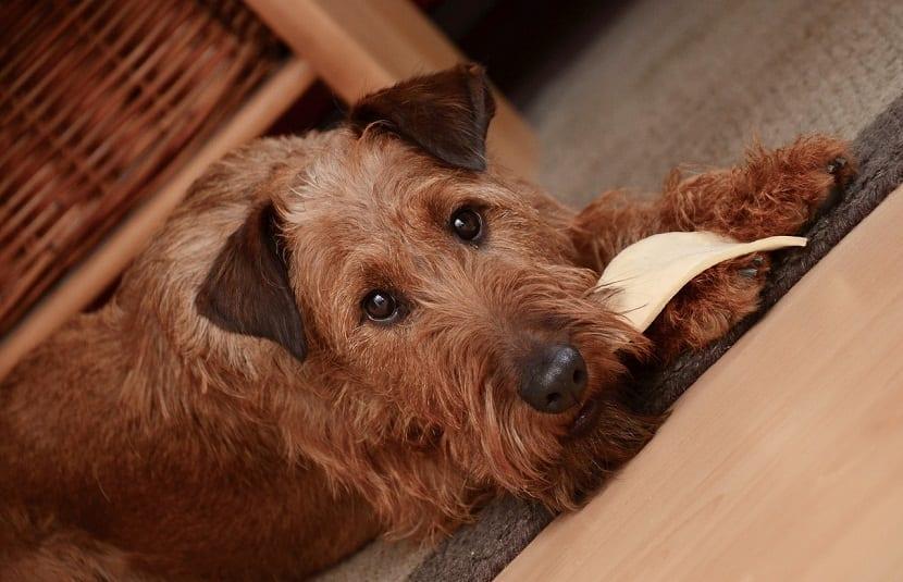 perro comiendose la suela de una zapatilla encima de una moqueta