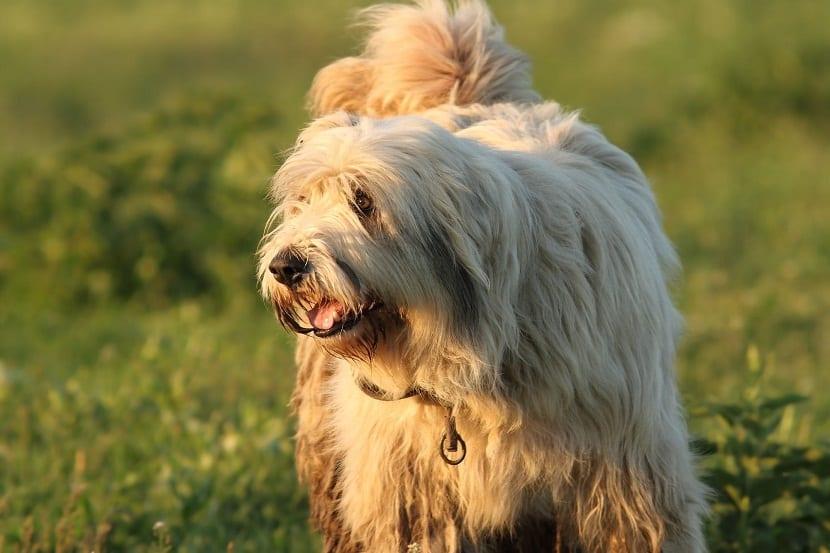 perro con mucho pelo largo en un campo
