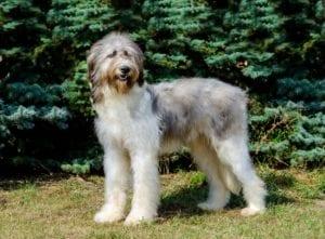 perro con mucho pelo por el cuerpo y patas