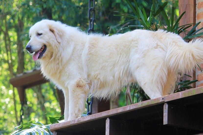 perro con mucho pelo y de color blanco en la entrada de una casa