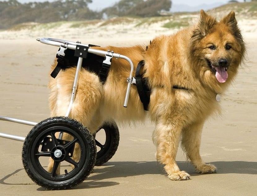 perro con silla de ruedas por problema de cadera