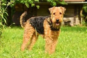 perro de pelaje corto y algo rizado parado en la hierba