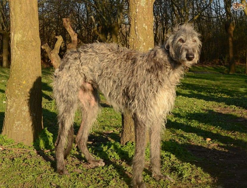 perro de tamano grande con bastante pelo