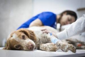 perro en veterinario por problema de cadera