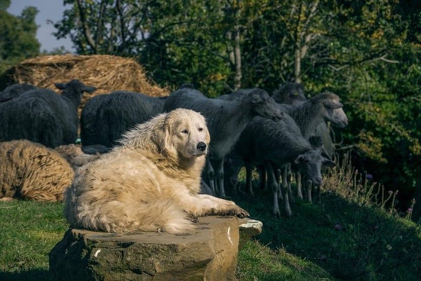 perro encima de una roca cuidando a las ovejas