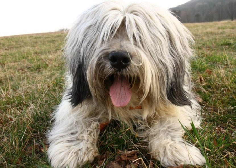 perro sentado en la hierba y con la lengua fuera