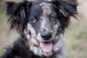 simpatico perro con la lengua fuera y las orejas erguidas
