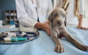 cachorro de perro en veterinario