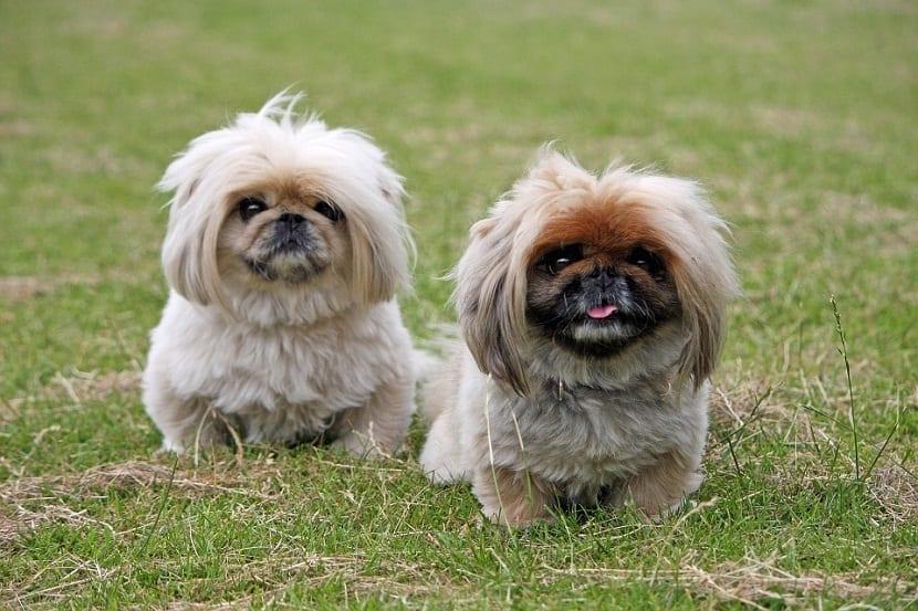 dos perros de tamano muy pequeno y con mucho pelo