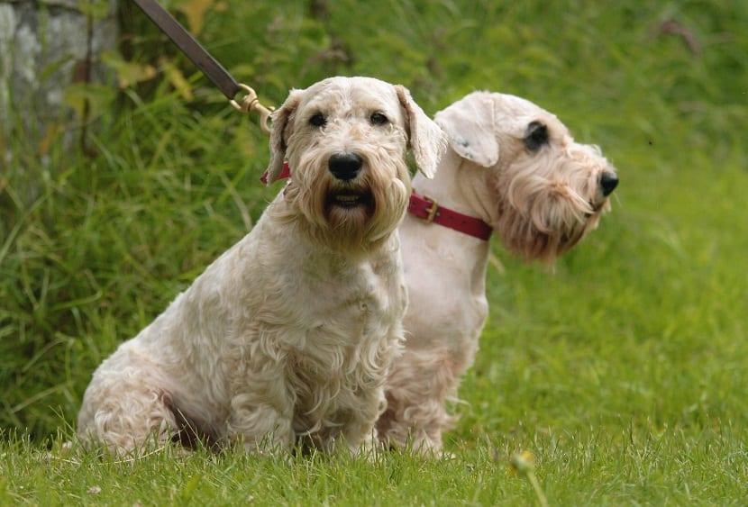 pareja de perros con correa sentados en la hierba
